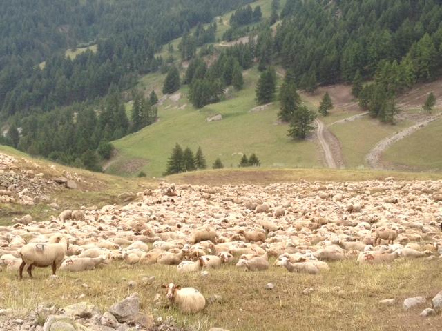 A fine mese per due giorni murazzano torna capitale delle - La pagina della colorazione delle pecore smarrite ...