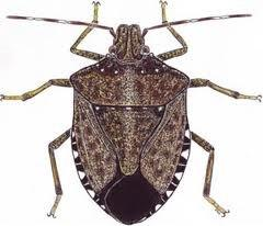 Coldiretti cuneo la lotta alla cimice asiatica for Cimice insetto