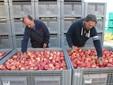 Ugo e Massimo sistemano i cassoni colmi di mele Ambrosia