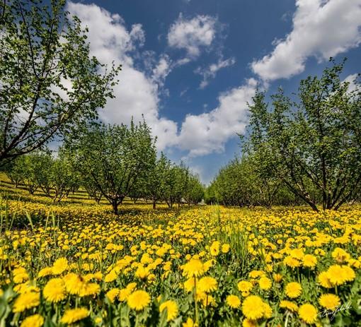 Foto di Tino Gerbaldo: fiori di tarassaco sotto i noccioleti di Roddi