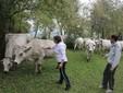 Mamma Franca e Marco con le mucche al pascolo