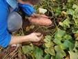 La raccolta delle batate