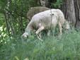 Le pecore brucano l'erba in un campo