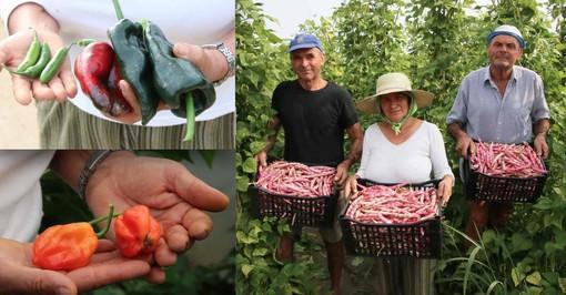 Alcune varietà di peperoncini coltivati nell'azienda di Centallo e (a destra) Augusto, Teodora e Silvio con le cassette di fagioli appena raccolti