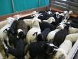 Un gruppo di agnelli bianchi e neri con due mesi di vita