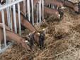 Le capre si alimentano
