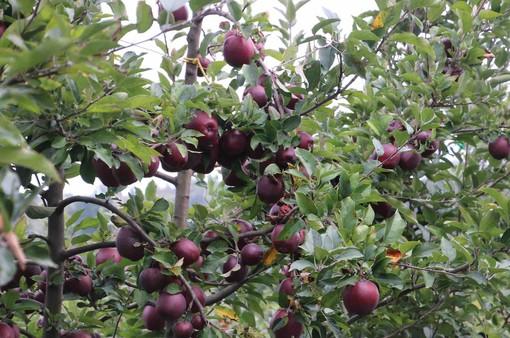 Un impianto di mele nel Saluzzese