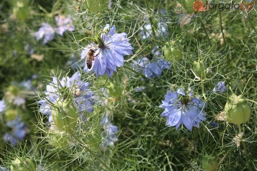 A Niella Tanaro il campo sperimentale per ammirare i fiori di Nigella (FOTO E VIDEO)