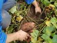 Mauro impegnato nella raccolta delle batate