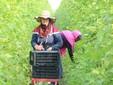 La raccolta di fagioli nei campi