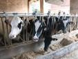 Le mucche si alimentano