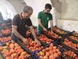 Franco e Lele sistemano i pomodori nelle cassette