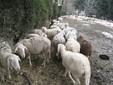 Il recinto con le pecore nel terreno verso la collina di Monserrato