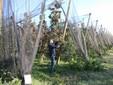 Massimo in un impianto di mele Ambrosia