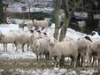 Pecore a Monserrato