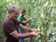 Franco e Lele raccolgono pomodori