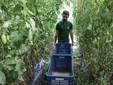 Lele prepara la raccolta dei pomodori