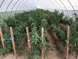 Una serra di peperoncini