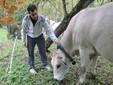 Marco controlla il radiocollare di una mucca