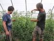 Fabio e Gianluca tra i pomodori