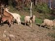 Capre, caprone e le pecore allevate dall'azienda