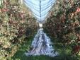 Un impianto di mele Ambrosia di straordinaria bellezza