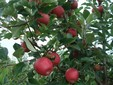 Mele Gala sull'albero