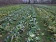 Un campo coltivato a ortaggi