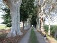Lo storico viale di platani che conduce all'azienda agricola di Bressi
