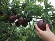 Il controllo della maturazione delle mele