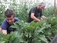 Tra le piante di melanzane
