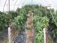 Una serra di peperoni