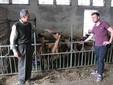 Giovanni e Maurizio nella stalla con le capre