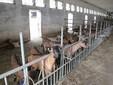 Alcune capre nella stalla