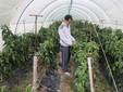 Marco controlla la maturazione dei peperoni