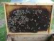 Telaino senza scorta di miele e covata