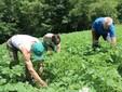Si toglie l'erba a mano in un campo di patate