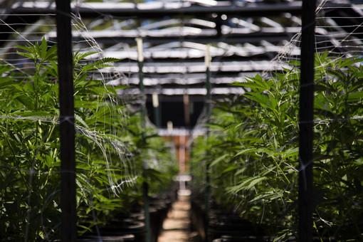 Coltivare cannabis indoor: l'importanza delle lampade