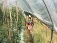 La raccolta dei pomodori