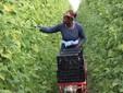 Una dipendente impegnata nella raccolta dei fagioli