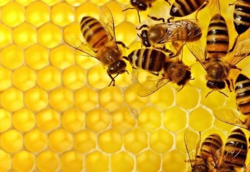 SOS api, Coldiretti Cuneo: a rischio estinzione 3 colture su 4