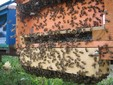 Le api in un alveare