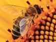 Un'ape raccoglie nettare