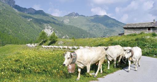 La transumanza di San Giovanni: in Piemonte sono 165 mila i capi bovini saliti agli alpeggi