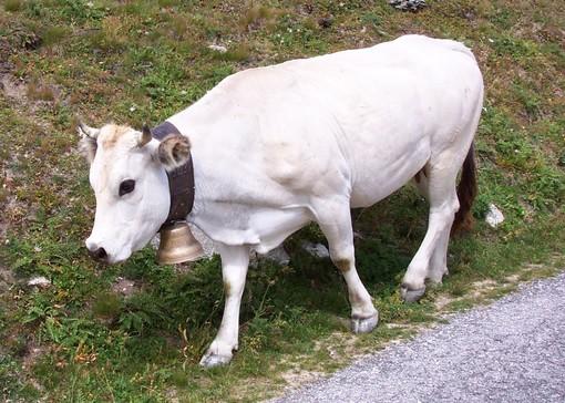 Bovini, Coldiretti Cuneo: da latte a carne, allevatori sotto pressione