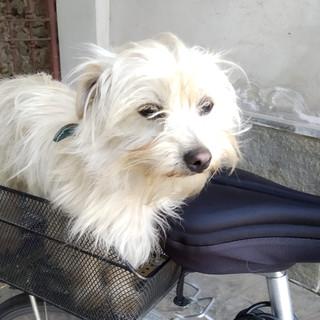 QUATTROZAMPE - Un cane di piccola taglia ritrovato a Boves. Si cerca il proprietario