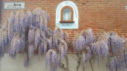 Glicini in fiore a Bra, ecco qualche luogo dove ammirarli e scattare foto da favola