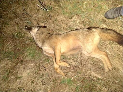 L'esemplare di lupo investito sabato tra Baldissero d'Alba e Sommariva Perno