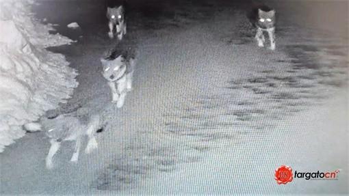 Il branco immortalato da una telecamera alle Sagne di Crissolo, il lupo fotografato in via San Giuseppe Croesio, a Paesana e la cerva predata ai Ciampetti di Ostana