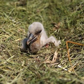 Il piccolo di cicogna nato nel nido a terra nel Centro Cicogne di Racconigi - foto tratta dalla pagina facebook